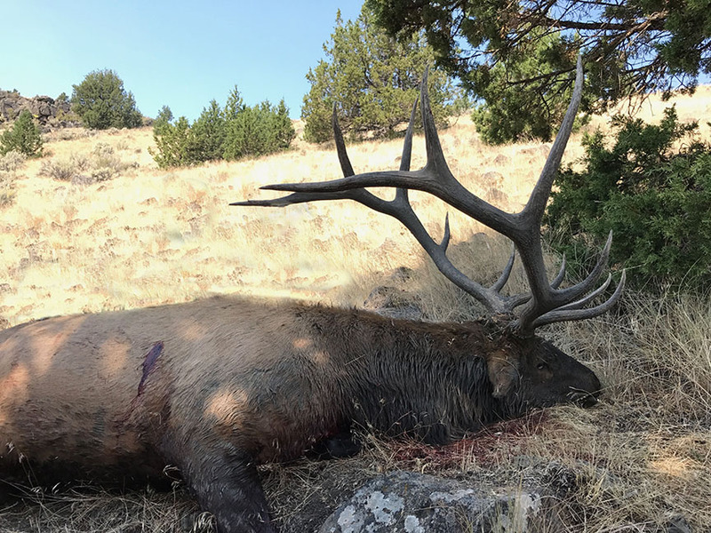 rocky mountain elk in Oregon